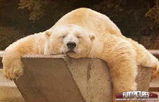 Funny-Polar-Bear-Sleeping.jpg